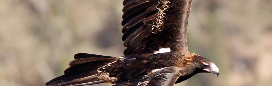 Stories| Wedge-Tailed Eagle